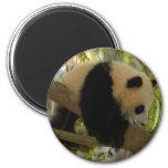 Panda del bebé imán