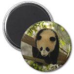 Panda del bebé iman para frigorífico