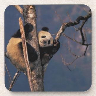 Panda del bebé que juega en el árbol, Wolong, Sich Posavaso