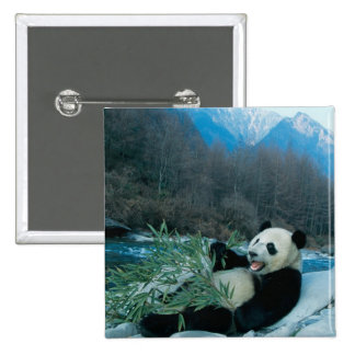 Panda eating bamboo by river bank, Wolong, 2 2 Inch Square Button