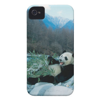 Panda eating bamboo by river bank, Wolong, 2 iPhone 4 Case-Mate Cases