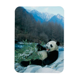 Panda eating bamboo by river bank, Wolong, 2 Magnet