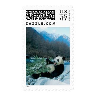 Panda eating bamboo by river bank, Wolong, 2 Postage