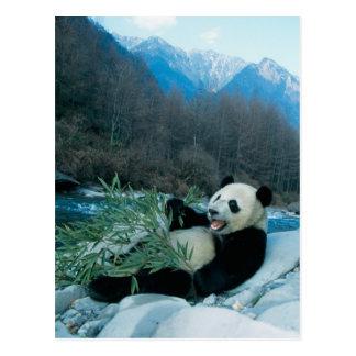 Panda eating bamboo by river bank, Wolong, 2 Postcard