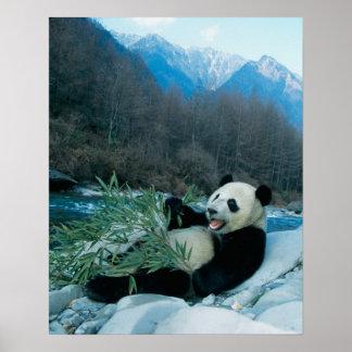 Panda eating bamboo by river bank, Wolong, 2 Poster