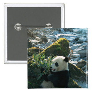 Panda eating bamboo by river bank, Wolong, 3 2 Inch Square Button
