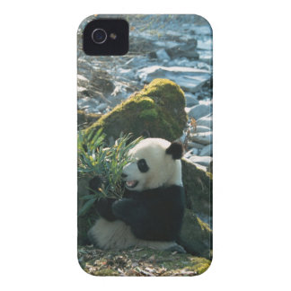Panda eating bamboo by river bank, Wolong, 3 iPhone 4 Case-Mate Cases