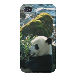 Panda eating bamboo by river bank, Wolong, 3 iPhone 4/4S Cover