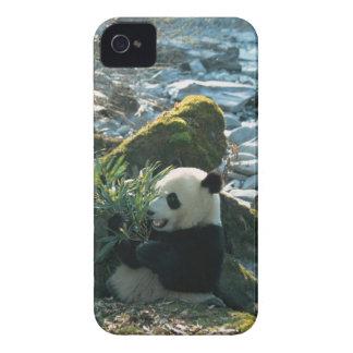 Panda eating bamboo by river bank, Wolong, 3 iPhone 4 Cover
