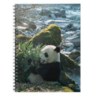 Panda eating bamboo by river bank, Wolong, 3 Spiral Notebook