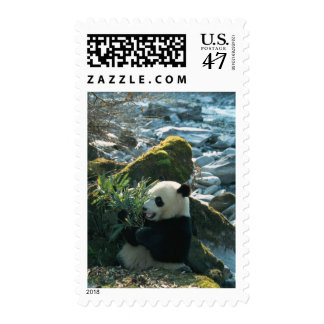 Panda eating bamboo by river bank, Wolong, 3 Postage