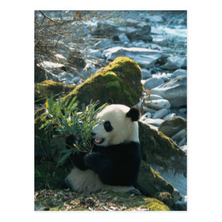 Panda eating bamboo by river bank, Wolong, 3 Postcard