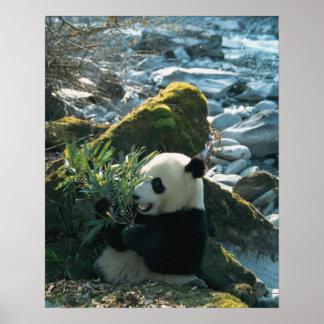Panda eating bamboo by river bank, Wolong, 3 Poster