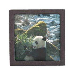 Panda eating bamboo by river bank, Wolong, 3 Premium Jewelry Box