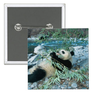 Panda eating bamboo by river bank, Wolong, 2 Inch Square Button
