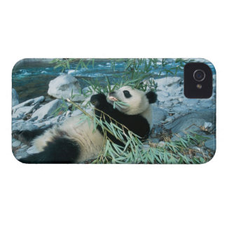 Panda eating bamboo by river bank, Wolong, iPhone 4 Case