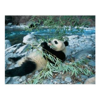 Panda eating bamboo by river bank, Wolong, Postcard