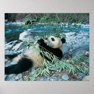 Panda eating bamboo by river bank, Wolong, Poster