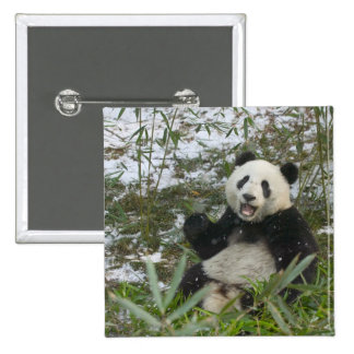 Panda eating bamboo on snow, Wolong, Sichuan, 2 2 Inch Square Button