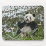 Panda eating bamboo on snow, Wolong, Sichuan, 2 Mouse Pad