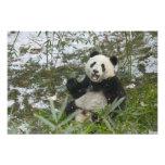 Panda eating bamboo on snow, Wolong, Sichuan, 2 Photograph