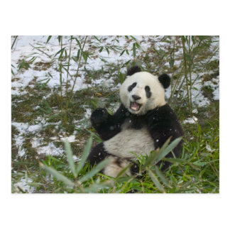 Panda eating bamboo on snow, Wolong, Sichuan, 2 Postcard