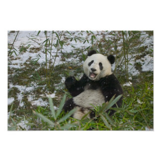 Panda eating bamboo on snow, Wolong, Sichuan, 2 Poster