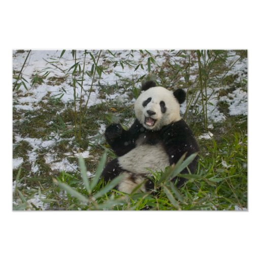 Panda eating bamboo on snow, Wolong, Sichuan, 2 Posters
