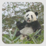 Panda eating bamboo on snow, Wolong, Sichuan, 2 Square Sticker