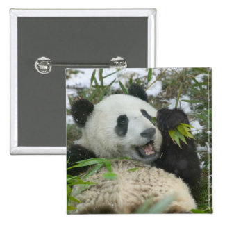 Panda eating bamboo on snow, Wolong, Sichuan, 2 Inch Square Button