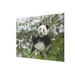 Panda eating bamboo on snow, Wolong, Sichuan, Canvas Print