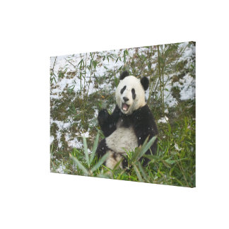Panda eating bamboo on snow, Wolong, Sichuan, Canvas Print