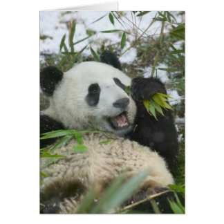 Panda eating bamboo on snow, Wolong, Sichuan, Card