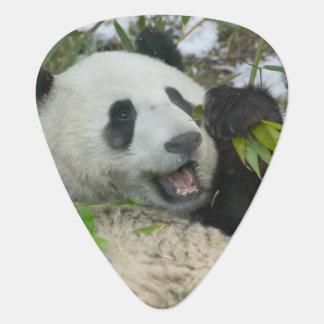Panda eating bamboo on snow, Wolong, Sichuan, Pick