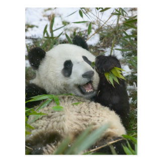 Panda eating bamboo on snow, Wolong, Sichuan, Postcard