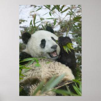 Panda eating bamboo on snow, Wolong, Sichuan, Poster