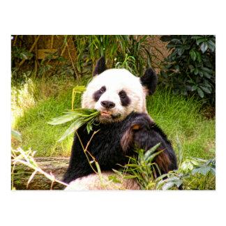 Panda Eating Bamboo Postcard