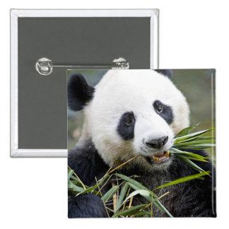Panda eating bamboo shoots Alluropoda 2 Pinback Button