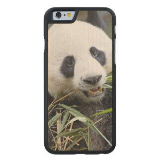 Panda eating bamboo shoots Alluropoda 2 Carved Maple iPhone 6 Slim Case