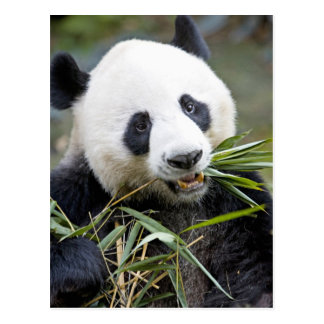 Panda eating bamboo shoots Alluropoda 2 Postcard
