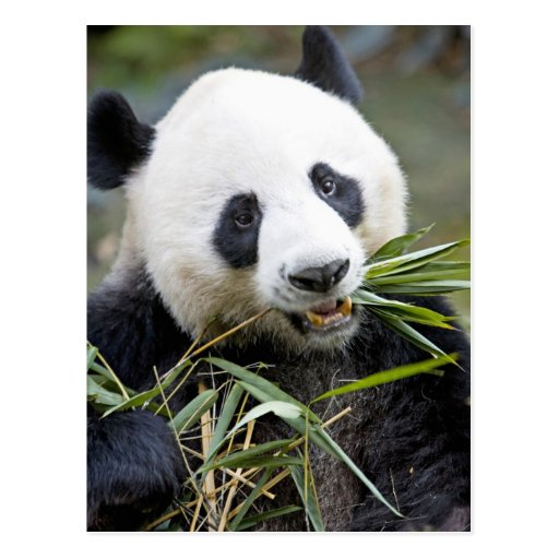 Panda eating bamboo shoots Alluropoda 2 Postcard