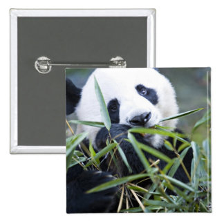 Panda eating bamboo shoots Alluropoda 2 Inch Square Button