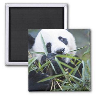 Panda eating bamboo shoots Alluropoda Magnet