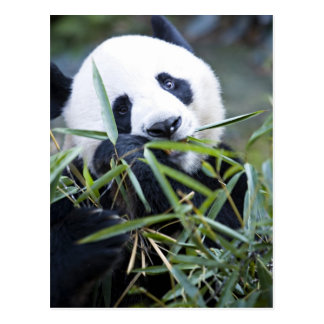Panda eating bamboo shoots Alluropoda Postcard