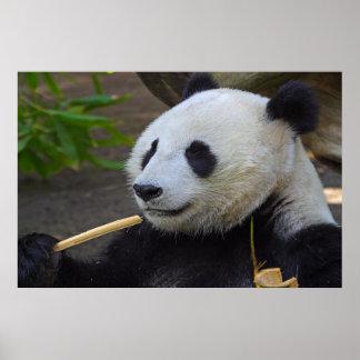 Panda eating bamboo tree poster