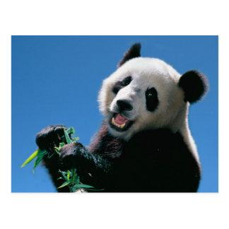 Panda eating bamboo, Wolong, Sichuan, China Postcard