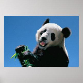 Panda eating bamboo, Wolong, Sichuan, China Poster