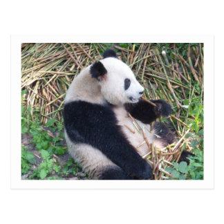 Panda Eating Postcard