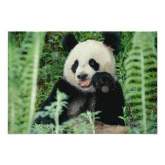 Panda el bosque, Wolong, Sichuan, China Fotografías