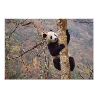 Panda en el árbol, Wolong, Sichuan, China Cojinete